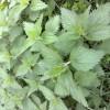 Удобрение из крапивы — полезное свойство сорняка