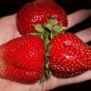Клубника Мармелада — сладкая ягода