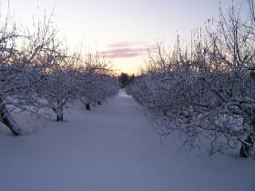 Подготовка яблонь к зимовке