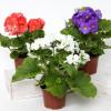 Как избавиться от мошек в комнатных растениях?