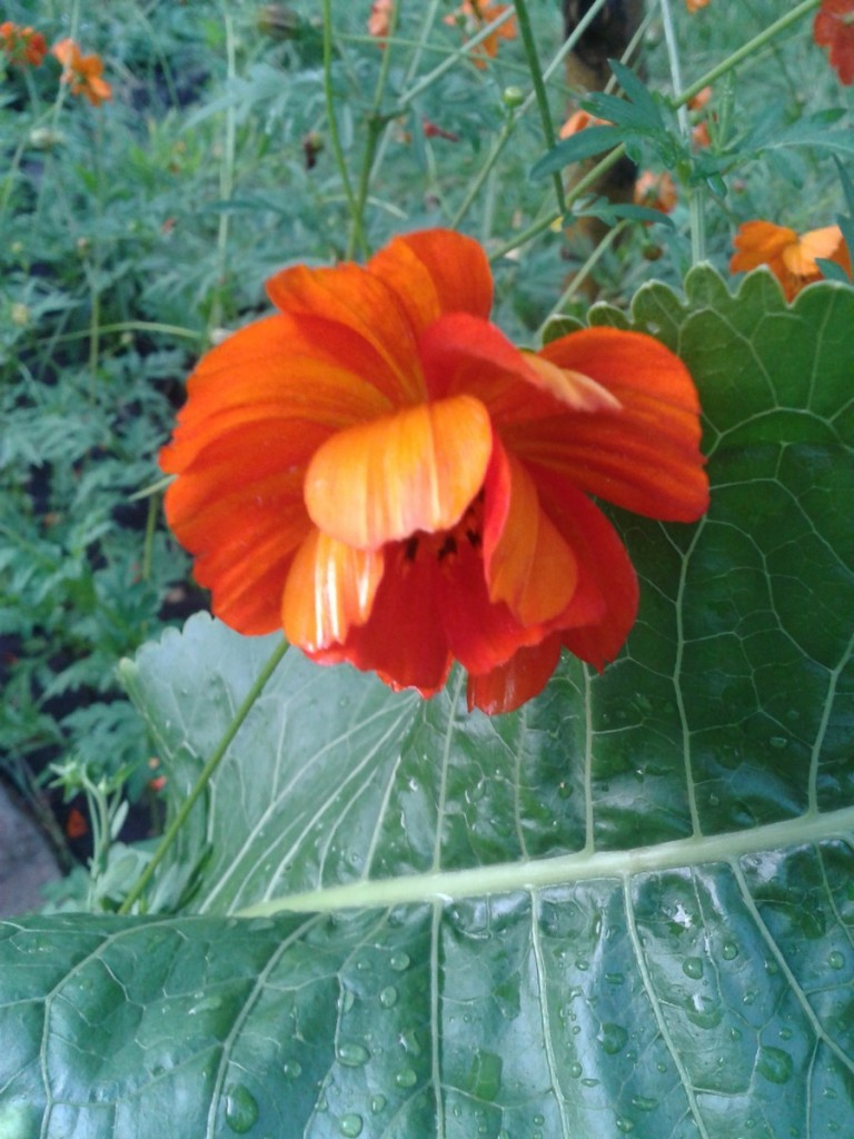 Цветы космея — описание и выращивание