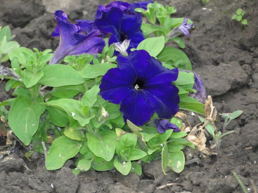 Цветы петуния — идеальный цветок для дачи