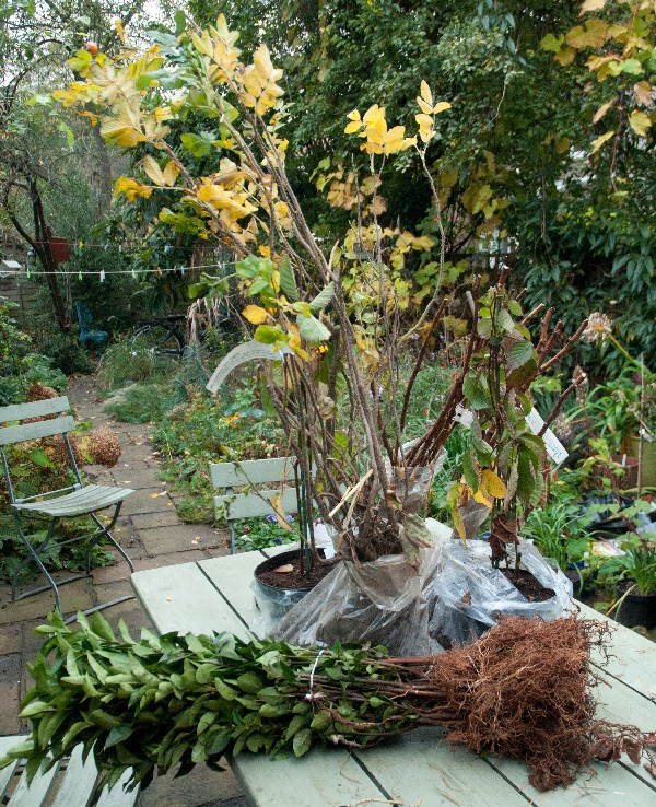 саженцы малины для посадки осенью